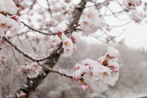 「雪桜」が綺麗すぎて寒さも忘れるとTwitterで話題