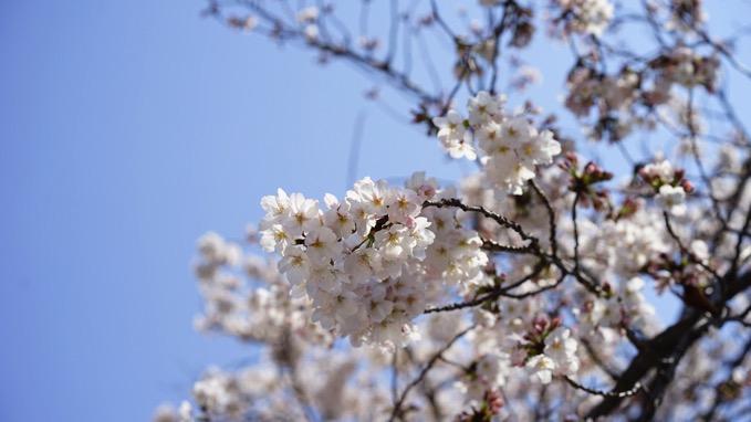東京都、お花見宴会の自粛を要請「散策も咳エチケットの徹底を」